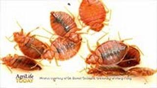 Bed Bug Genome Uncovered