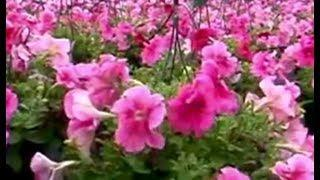 Rejuvenating Petunias