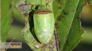 Entomologists Sniff Out New Stink Bug
