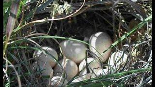 Proper Grazing Of Quail Nesting Habitat