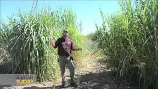 Dual Purpose Bioenergy Forage Crop