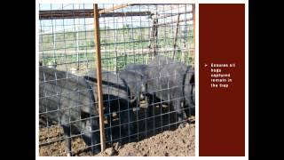 Improving Feral Hog Box Trapping Efforts