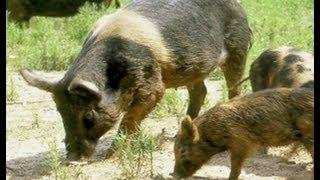 Texas Invaders Feral Hogs