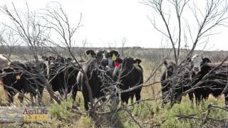 Restock Vs. Rebuilding A Herd