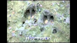 Identification Of Deer And Feral Hog Tracks