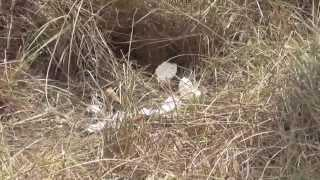 How To Build A Dummy Nest To Evaluate Quail Nest Success