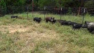 Wild Pig Corral Traps