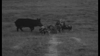 Wild Pig Trapping Tips: Rainfall And Wild Pigs